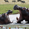 African Wildlife Montage - Hippos by Robert Shard