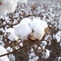 Alabama Cotton Bowl by Paula Ferguson