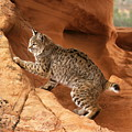 Alert Bobcat by Larry Allan