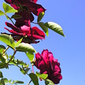 All About Roses And Blue Skies Vii by Daniel Henning