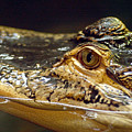 Alligator Eye Close Up by Steve Somerville