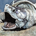 Alligator Snapping Turtle by Preston Shupp
