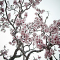 Almond Tree In Flower by Nelson Mineiro