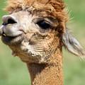 Alpaca 1 by Denise Jenks