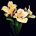Alstroemeria Sprig by Cathie Tyler