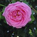 America Climbing Rose by Robyn Stacey