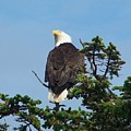 American Bald Eagle by Mark Cheney
