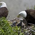 American Bald Eagles, Haliaeetus by Roy Toft