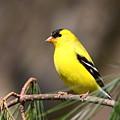 American Goldfinch II by Bruce J Robinson