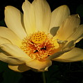 American Lotus by Ron Kruger