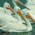American White Pelicans by Bruce Morrison