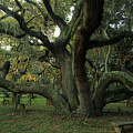 An Old Live Oak Draped With Spanish by Michael Melford