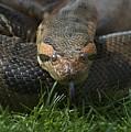 Anaconda by Susan Heller