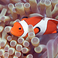 Anemone And Clown-fish by MotHaiBaPhoto Prints