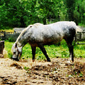 Appaloosa Eating Hay by Susan Savad
