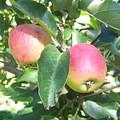 Apple 102 by Ken Day