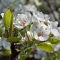 Apple Blossom by Bob Kemp