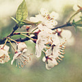 Apple Blossom Branch In Early Spring by Sandra Cunningham