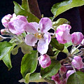 Apple Blossoms  by Valerie  Moore