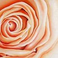 Apricot Rose by Carrie Bolton