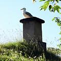 Arctic Tern by Helene Sobol