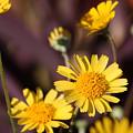 Arizona Daisy by Kevin Igo