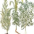 Artemisiae & Reseda by Granger
