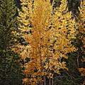 Aspen Gold by Kelley King