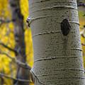 Aspen In Fall by Jeff White