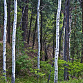 Aspens In The Woods by Neil Doren