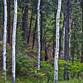 Aspens In The Woods by Neil Doren