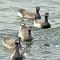 Atlantic Brant Geese - Branta Bernicla Hrota by Mother Nature