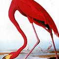 Audubon: Flamingo, 1827 by Granger