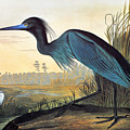 Little Blue Heron by John James Audubon