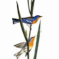 Audubon: Warbler, 1827 by Granger