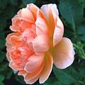 August Rose 09 by Joyce Dickens