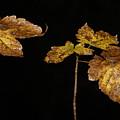Autumn Leaves by Masami Iida
