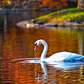 Autumn Swan Lake by Keith Allen