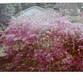 Azalea Framed By Roof by Hal Newhouser