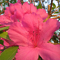 Azaleas by Stacey May