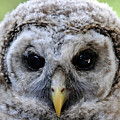 Baby Barred Owl-2 by Keith Lovejoy