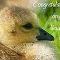 Baby Goose Card by Michael Cummings