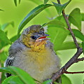 Baby Oriole by Diana Hatcher