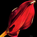 Back Lit Black Calla Lily by Frederic A Reinecke