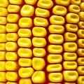 Background Corn by Carlos Caetano
