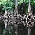 Bald Cypress Trees Along The Withlacoochee River by Barbara Bowen