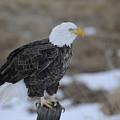 Bald Eagle by Gary Beeler