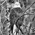 Bald Eagle In Black And White by Clarence Alford