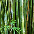 Bamboo  by Les Cunliffe