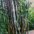 Bamboo by Nereida Slesarchik Cedeno Wilcoxon